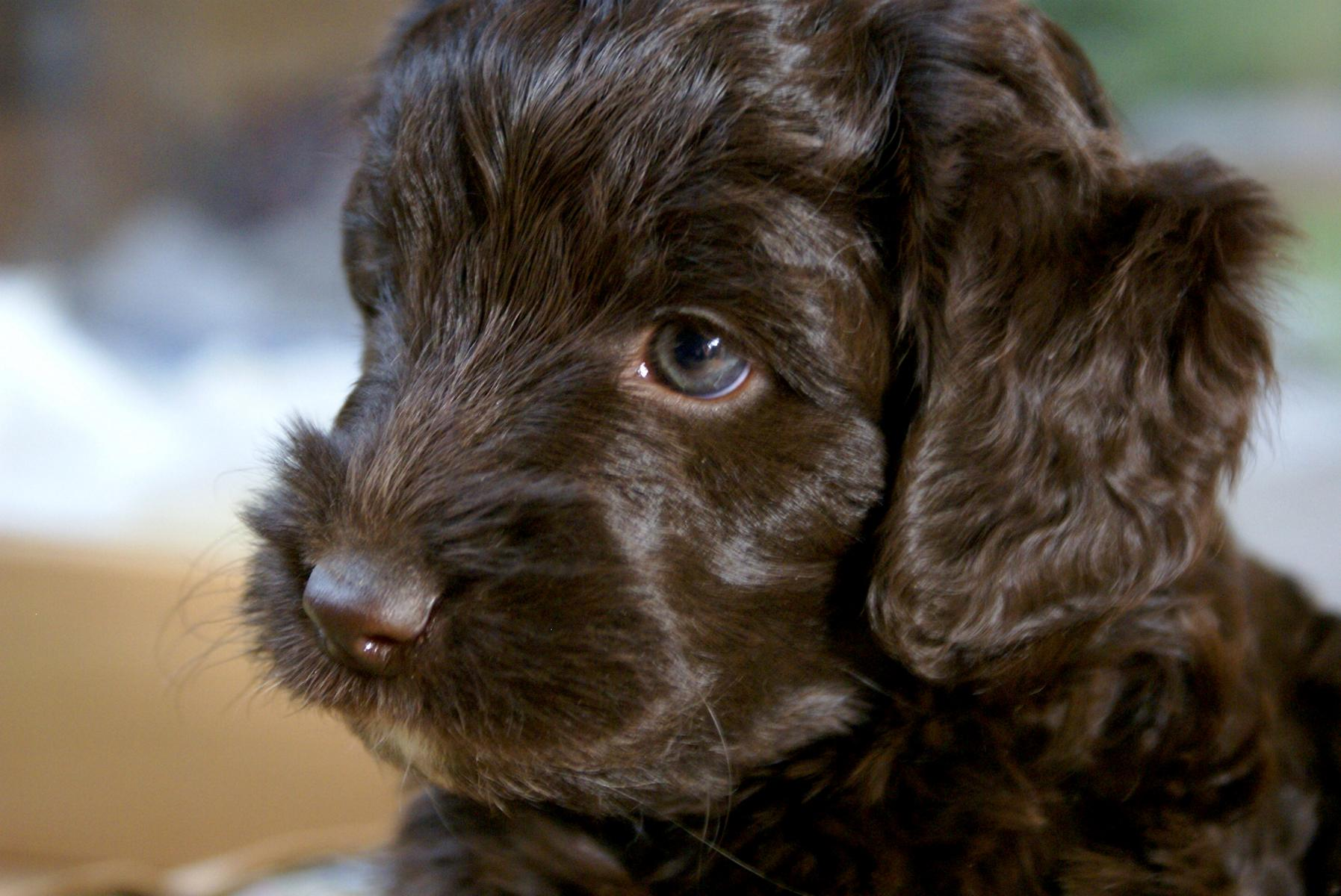 Australian Home Decor Pin Welpen Hunde On Pinterest